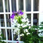 Cleome or spider flower plant